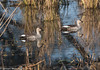 Spot-Billed Duck by Stewart M