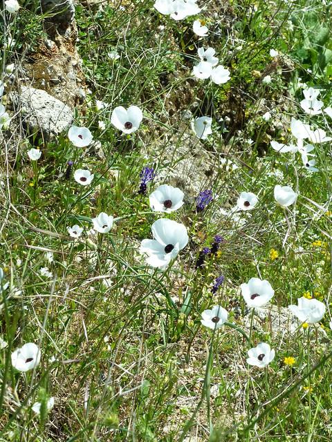 Ranunculus asiaticus -Turban Buttercup