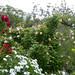 My rosegarden- mein Rosengarten by Marlis1