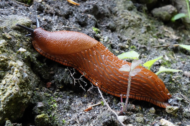 Brown slug - Arion lusitanicus (?)