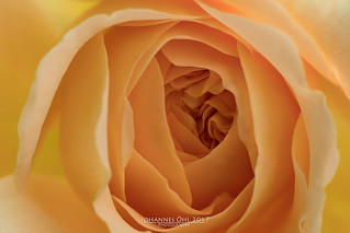 Petals of Rosa 'Charlotte'   by Johannes Oehl