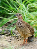 Crested Francolin (Dendroperdix sephaena) by David Cook Wildlife Photography