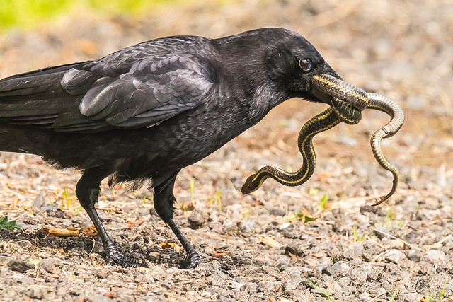 Crow captures snake