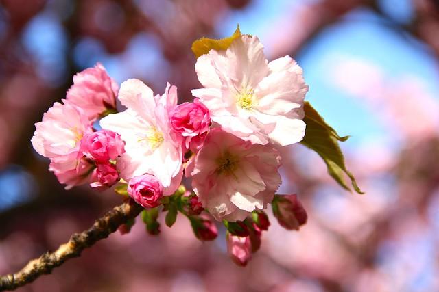 Brooklyn Botanic Garden Cherry bloom