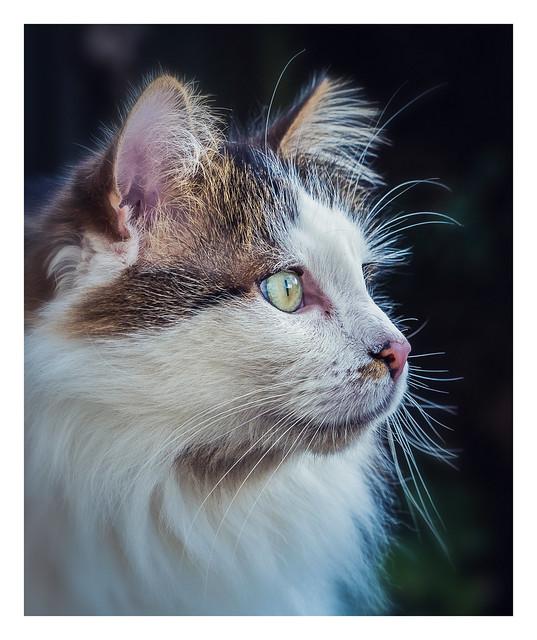 Cat Portrait (2) ( Tilly the 3-legged cat) (Cross Process & Border) (Olympus OM-D EM1-II & M.Zuiko 40-150mm f2.8 Telephoto Zoom)