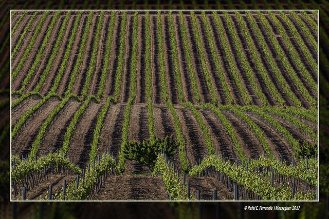 Vinya a la Vall dels Alforins (Els Alforins Valley vineyard) La Vall d'Albaida, València, Spaiin