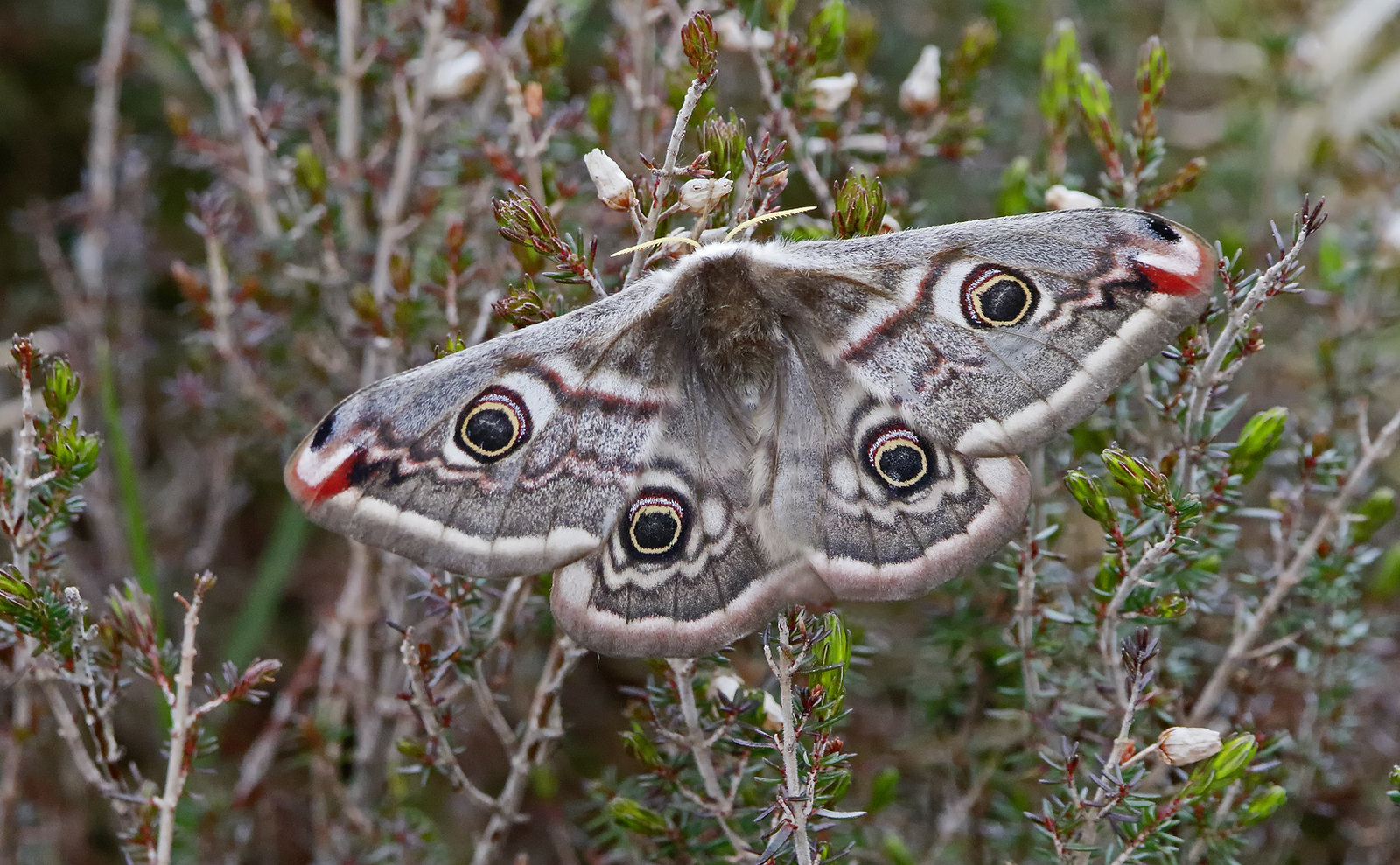 Emperor Moth [female]