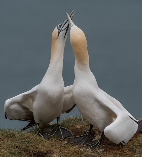 Gannet Love   by Paul Kaye