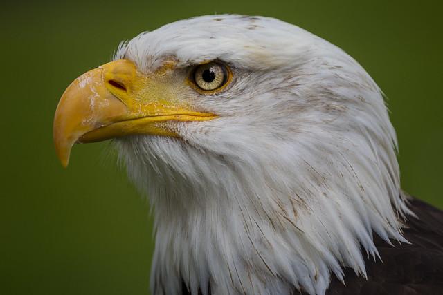 Weißkopfseeadler Portrait