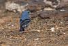 Tenerife Blue-Chaffinch-male-back-Tenerife_w_MG_7848