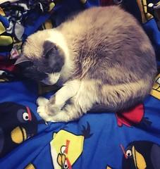 Bird blanket cat nap.(135/365) #picoftheday