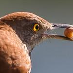 Brown Thrasher eating