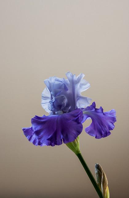 simply iris