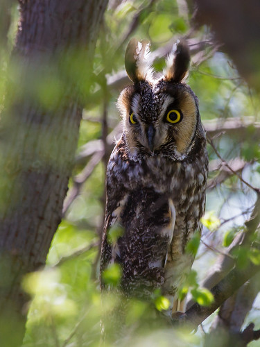birds longearedowl owls