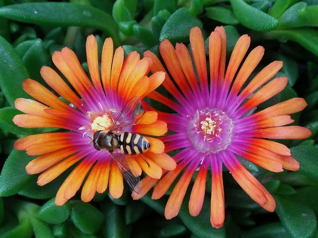 Natural Visitor. Hoverfly on 'P001S′ Fire Spinner®, Delosperma Hybrid, Hortus Botanicus, Amsterdam, The Netherlands