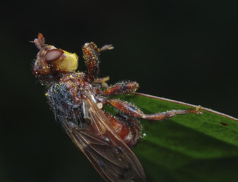 The-Conopid-fly-Sicus-ferrugineus1