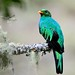 Golden-headed Quetzal - Photo (c) Arley Vargas, some rights reserved (CC BY-NC-ND)