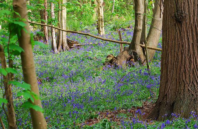 Bluebells (Hyacinthoides non-scriptus) Freston Wood, Suffolk