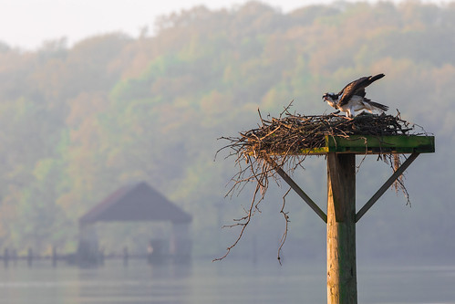 chesapeakefarms chestertown maryland remington trees water westforklangfordcreek agriculture bird creek dupont landscape morning nest osprey refuge seahawk wildlife wings rockhall unitedstates us