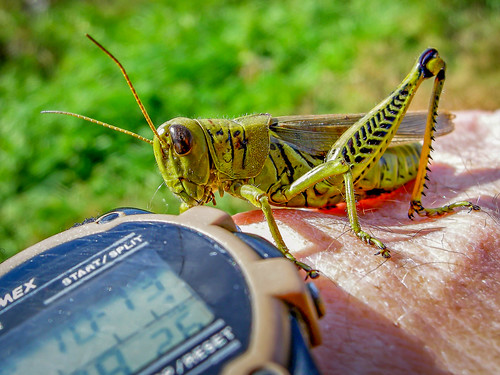 Differential Grasshopper (Melanoplus differentialis) | by Charles G. Haacker