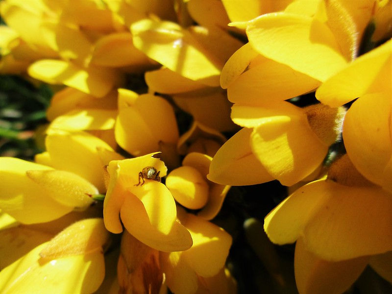 May Gorse