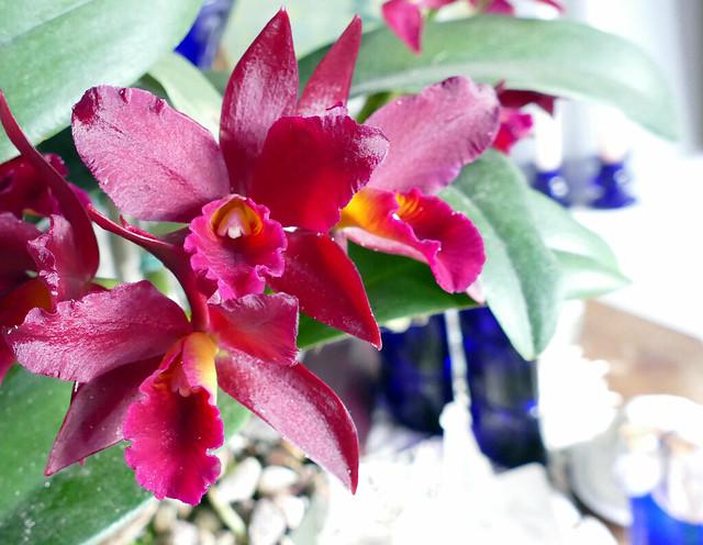 Cattlianthe Tutankamen 'Pop' hybrid orchid