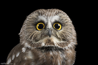 Northern Saw-whet Owl (Aegolius acadicus) | by neil.fisher