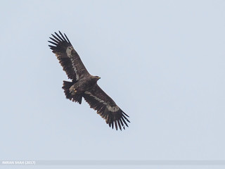 Steppe Eagle (Aquila nipalensis) | by gilgit2