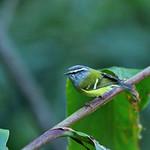 灰喉柳鶯  Ashy-throated Warbler