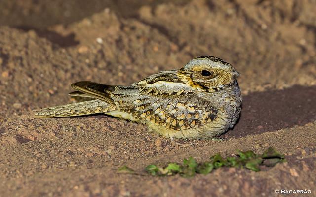 Noitibó-de-nuca-vermelha | Red-necked Nightjar | Chotacabras cuellirrojo | Engoulevent à collier roux (Caprimulgus ruficollis)