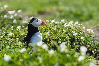 20170514_Farne Islands_0035.jpg | by gfurm
