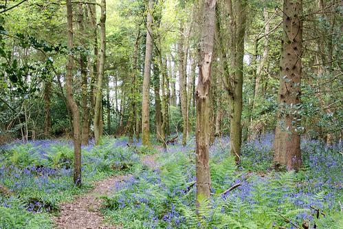 Bluebell Wood Knockholt Circular
