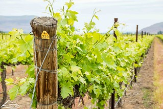 End of trellised grape vine row | by Washington State Department of Agriculture