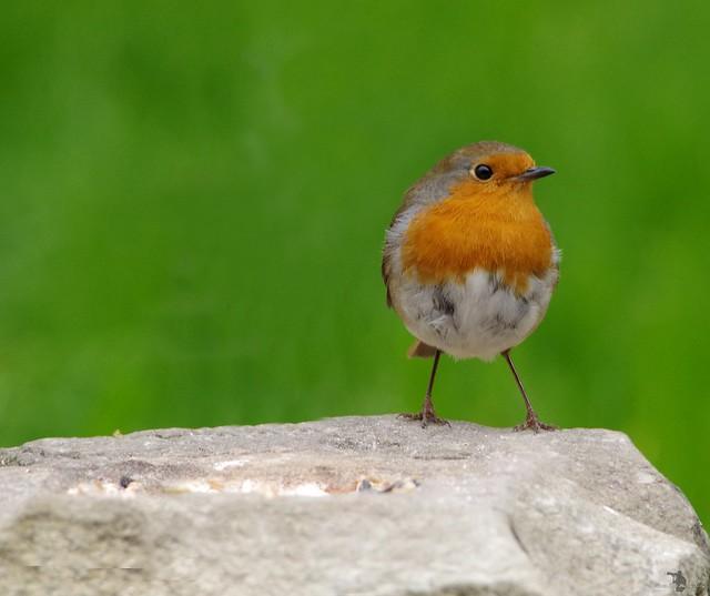 robin close up pose on stone