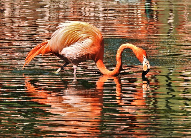 Flamingo Reflections - Chester Zoo