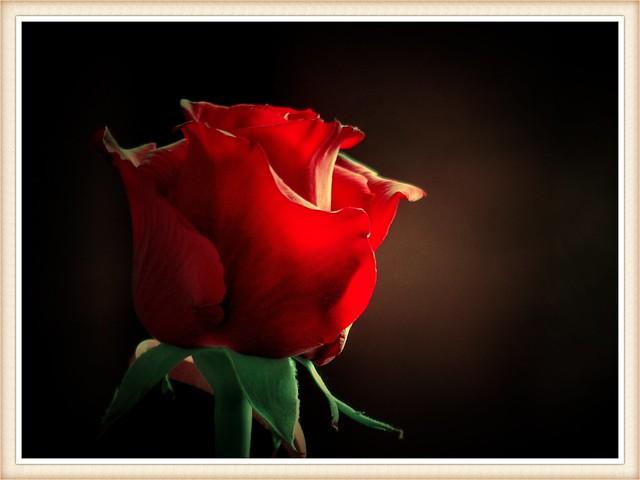 Róża x