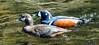Straumönd - Harlequin Duck – Histrionicus histrionicus by raudkollur
