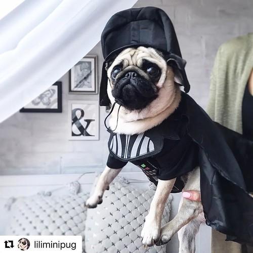 I am your father! #pug #Regram . . . . . . #funidelia #pugworld #pugs #carlino #DarthVadercostume #StarWars #dogcostume #cute #cuteness #costume #deguisement #disfraz #kostüm #chien #hund #dogs #perro #carlin #instapug #peakpug