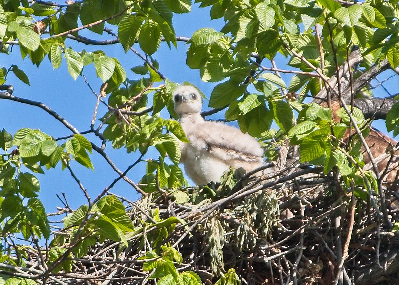 2017 Red-tail nestling in Tompkins Square