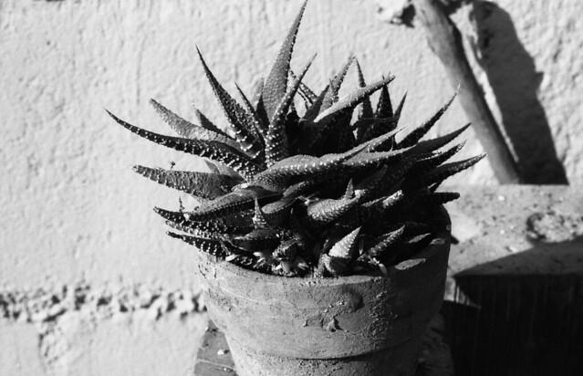 Colección Sculentas (4)  (Pentax MX Abril 2017002)