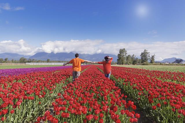 tulip festival chilliwack