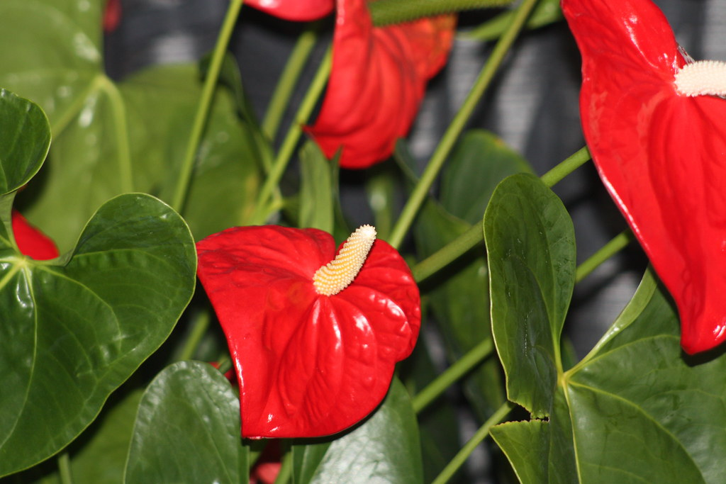 Red Peace Lilies | willyandjo | Flickr on low light zz plant, philodendron house plant, lily of the valley plant, spathiphyllum plant, chinese evergreen indoor plant, peace prayer lily plant, lily with beta fish plant, red with a lily like plant bloom, wedding peace lily plant,