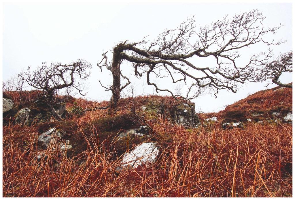 Windswept Tree, Arisaig