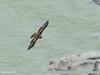Booted Eagle (Hieraaetus pennatus) by gilgit2