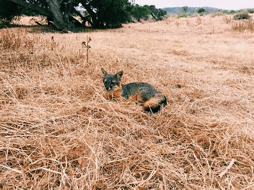 Island Fox! | by lady3jenn