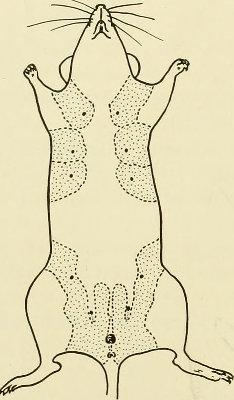 "Image from page 189 of ""Biology of the laboratory mouse"" (1941)"