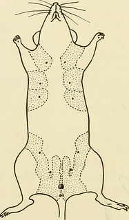 "Image from page 189 of ""Biology of the laboratory mouse"" (1941) 