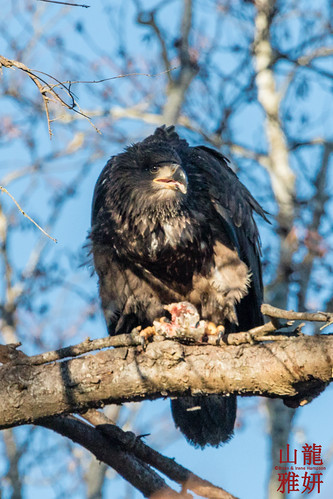 Juvenile Bald Eagle - having lunch | by DragonSpeed