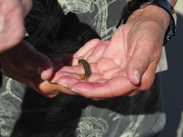Q3266956 Joshua Tree National Park Cholla Cactus Garden caterpillar