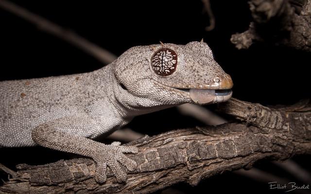 Kristin's Spiny-tailed Gecko (Strophurus krisalys)